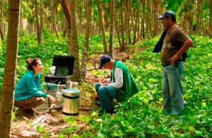 Açaí plantação perto de Humaitá, Brasil